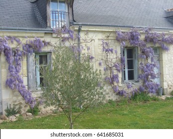 Wisteria growing wild on the facade of a country stone house in France