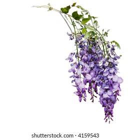 wisteria isolated