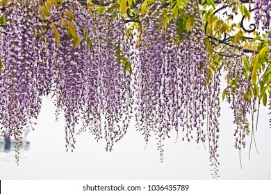 wisteria lila  backround garden design spring symbol easter backround