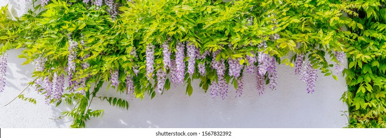Wisteria Lila blossoms on house wall background. Natural home decoration with violet wisteria flower, banner