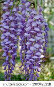 Wisteria plant Arboretum Wilmington New Hanover North Carolina. Climbing ornamental flowering plant. Lavender color.