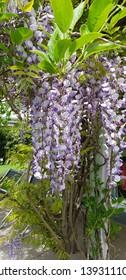 Wisteria Purple Glycine Flowers closeup