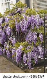Wisteria in the Rain. Interwoven in the railing is a beautiful old wisteria vine that is full of purple flowers.