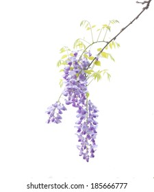 Wisteria sinensis flowering in spring/ white background.
