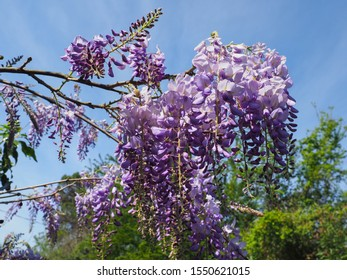 Wisteria sinensis Prolific, white violet flowers, close up. Chinese wisteria tree, traditional cultivar with masses of purple blossoms in hanging racemes. Classic Wisteria plant in the pea family.