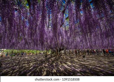 Wisteria tree in Ashikaga flower park in Japan