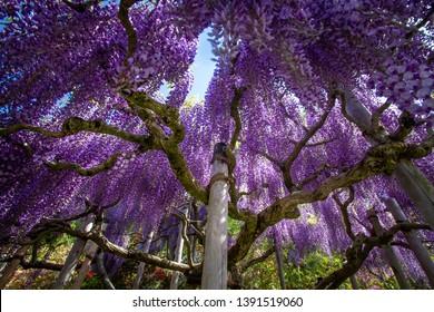 Wisteria tree at Ashikaga flower park in Japan