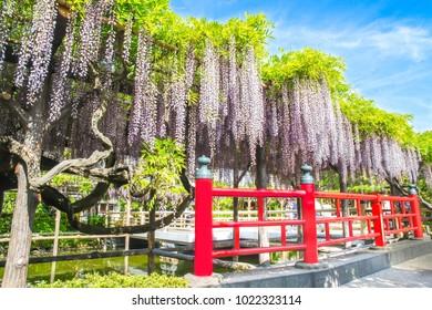 Wisteria trees at Kameido Tenjin Shrine, Tokyo, Japan