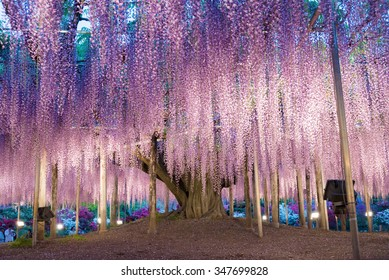 Wisteria Tree Images Stock Photos Vectors Shutterstock