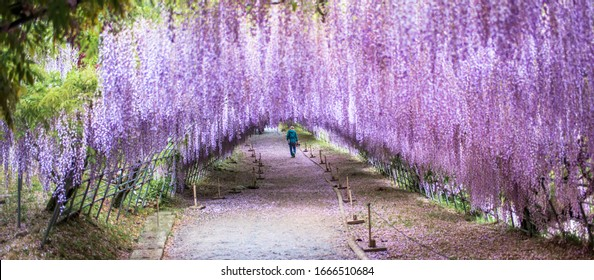 Wisteria Tunnel Images Stock Photos Vectors Shutterstock