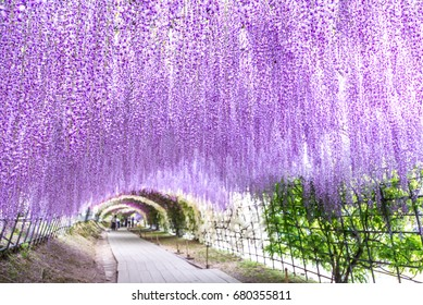 Wisteria Tunnel at Kawachi Fuji Garden (Fukuoka, Japan), focused on foreground