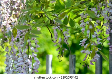 A wisteria vine is covered in flowers, which fade from purple to lilac to white. The background is soft green,