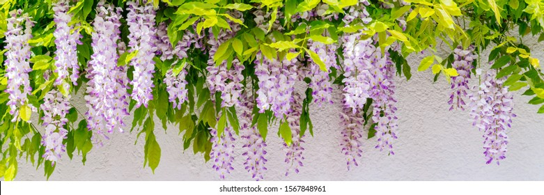 Wisteria violet blossoms on house wall background. Natural home decoration with wisteria flower. Big wisteria tree, banner