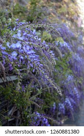 Wisteria violet outdoor.Wisteria purple flowers on a natural background.Wisteria purple brush colors