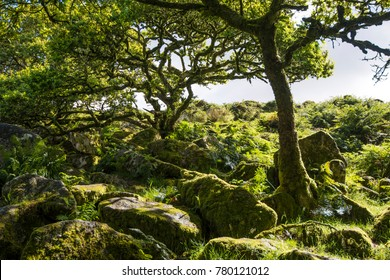 Wistman's Wood, an area of ancient woodland on Dartmoor in Devon, England is home to our only poisonous snake, the adder, but, in this mystical landscape there may also be fairies.