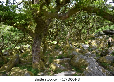 Wistman's Wood, a remote high-altitude oakwood on the eastern slope of the West Dart River on Dartmoor, Dartmoor National Park, Devon, England.