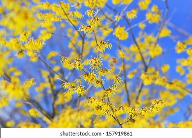Witch Hazel, blooming in the winter