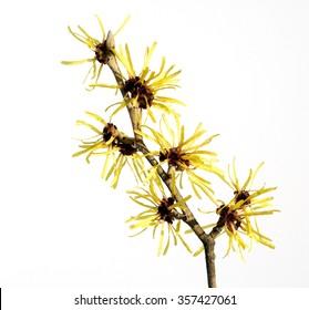 Witch hazel; blossom, Hamamelis