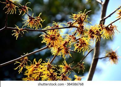 Witch hazel blossoming in the early spring