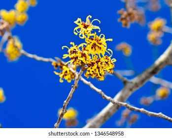 Witch Hazel Flower close up