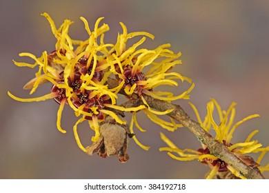 Witch hazel flowers (Hamamelis)