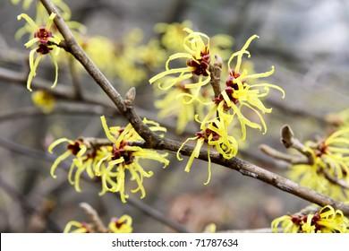 witch hazel in full bloom in february