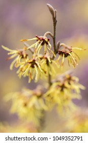Witch hazel (Hamamelis × intermedia 'Arnold Promise')  in flower. Extraordinary yellow flowers of shrub cultivar in the family Hamamelidaceae, with long petals