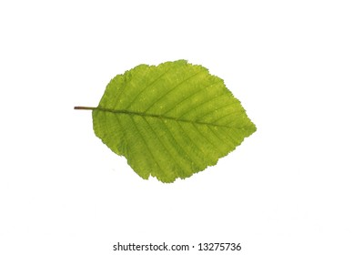 A Witch Hazel leaf isolated on a white background.