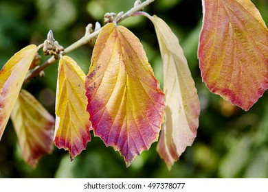 Witch hazel tree showing autumn color in its leaves.