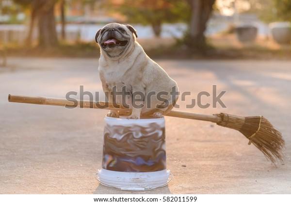 Witch Pug dog.Funny Pug dog sitting on broom.