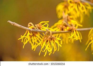 Witch-hazels, blossom in wintertime in Germany
