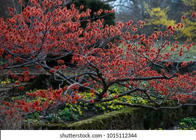 Witch-hazels (Hamamelis) red flowering shrub