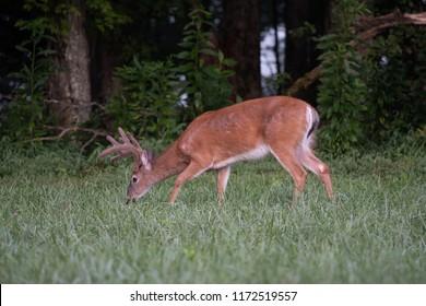 Witetailed deer buck grazing in an open meadow in summer with velvet antlers