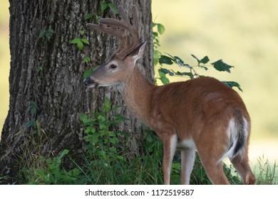 Witetailed deer buck in an open meadow in summer with velvet antlers
