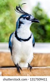 Wite-throated blue magpie jay (Calocitta formosa), Ometepe Island, Nicaragua