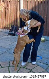 WITHAM, ESSEX, UK - OCTOBER 6, 2013:  Leland, a male British Bulldog, jumps up to kiss his new housemate, a female British Bulldog puppy called Georgie.