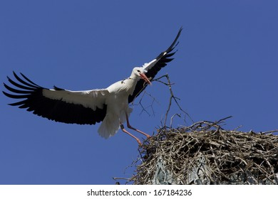 Withe Stork, Ciconia ciconia, nest-building