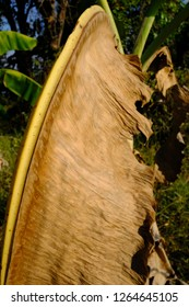 Withered banana leaves