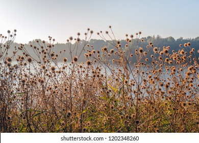Withered brown hooked burs of greater burdock or Arctium Lappa plants growing in the wild at the edge of a Dutch lake in the autumn season. The photo was taken early in the morning of a sunny day.