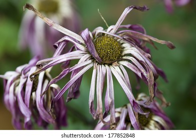Withered chrysanthemum
