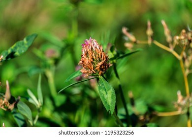 Withered clover flower on lush green nature background