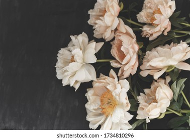 Withered coral peonies on dark vintage background. Fading flowers herbarium. Floral art. Floral design. Botanical background.