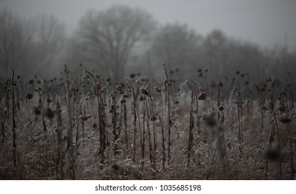withered dead sunflower field grey dark background frost covered in foggy winter