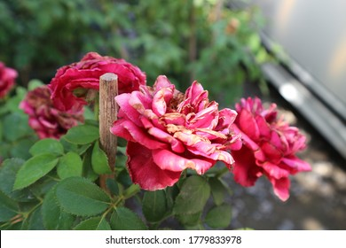 Withered and dried pink rose flower over blurred garden background