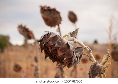 Withered and dried sunflowers looking down