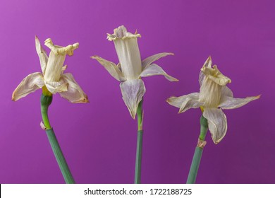 Withered flowers. Three faded narcissus close up. Yellowed daffodils on purple background. Concept of disease and aging.