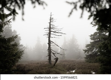 Withered forest in a fog. Alone standing withered tree in a mist. Foggy mountain landscape with withered tree.