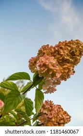 withered hydrangea flower varieties Vanille Fraise