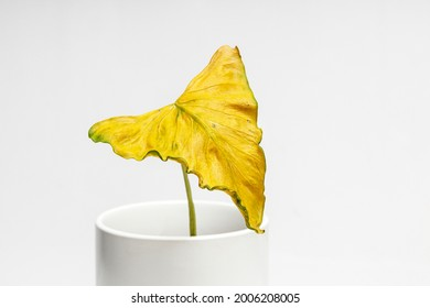 Withered leaves in a white pot on white background