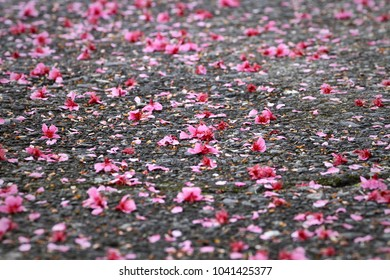 The withered pink cherry blossom drop and pave over the surface of the road. The abstract concept of spring, over, end, decay and death.